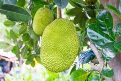 Jackfruit fotos de stock