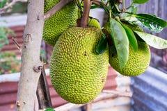 Jackfruit Royalty-vrije Stock Afbeelding