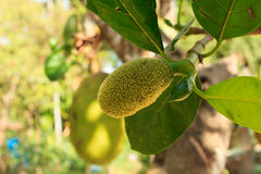 Jackfruit Fotografia Royalty Free