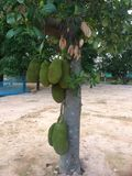 Jackfruit Imagem de Stock