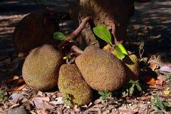 Jackfruit Arkivfoton