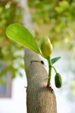 Jackfruit Fotografia de Stock