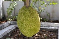 Jackfruit Imagem de Stock Royalty Free