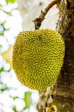 Jackfruit στοκ φωτογραφίες
