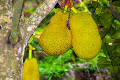 Jackfruit Stockfoto