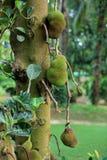 Jackfruit Royaltyfri Fotografi