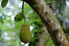 Jackfruit Royaltyfria Bilder