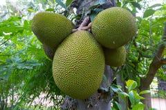 Jackfruit Zdjęcie Royalty Free