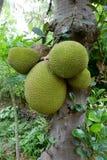 Jackfruit Stockbilder