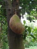 Jackfruit Στοκ Εικόνες