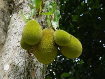 Jackfruit Stockfotos