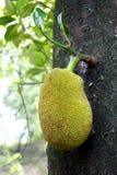 Jackfruit Stockfotografie