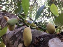 Jackfruit Zdjęcia Stock