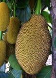 Jackfruit Στοκ εικόνες με δικαίωμα ελεύθερης χρήσης