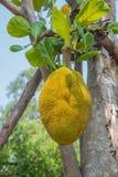 Jackfruit Lizenzfreie Stockbilder