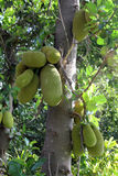 Jackfruit obraz royalty free