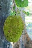 Jackfruit in aard Royalty-vrije Stock Foto's