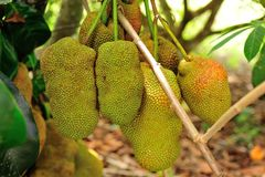 Jack fruits. The jackfruit, also known as jack tree, fenne, jakfruit, or sometimes simply jack or jak, is a species of tree in the fig, mulberry, and breadfruit Stock Images