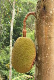 Jackfruit. The jackfruit, also known as jack tree, or sometimes simply jack or jak Stock Photo