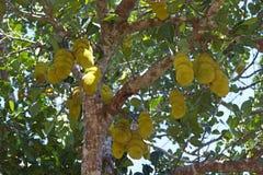 Jackfruit (Artocarpus heterophillus) Stock Photos