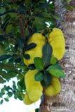 Jackfruit (Artocarpus heterophillus) Stock Photography