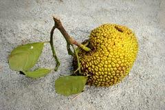 Jackfruit (Artocarpus heterophyllus) Stock Photos