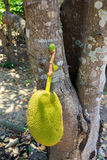 Jackfruit auf Baum Stockfoto