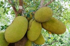 Jackfruit auf Baum Lizenzfreie Stockbilder