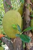 Jackfruit auf Baum Lizenzfreie Stockfotos