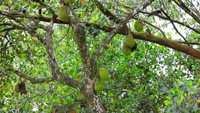Jackfruit auf Baum in der Natur stock video