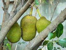 Jackfruit auf dem Baum Stockfoto
