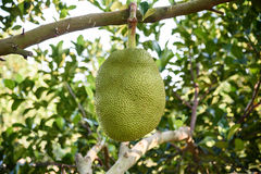Jackfruit auf dem Baum Stockbild