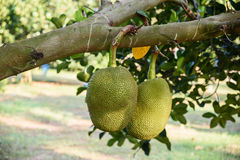 Jackfruit auf dem Baum Lizenzfreies Stockbild