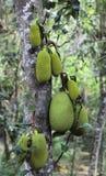 Jackfruit auf einem Baum Lizenzfreies Stockfoto