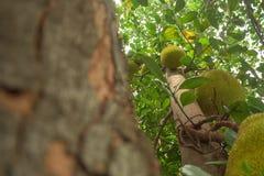Jackfruit auf einem Baum, der vor einem Büro wächst lizenzfreies stockfoto