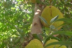 Jackfruit auf einem Baum, der vor einem Büro wächst lizenzfreie stockfotografie