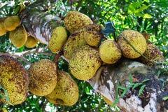 Jackfruit-Baum stockfoto