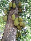 Jackfruit-Baum Lizenzfreies Stockfoto