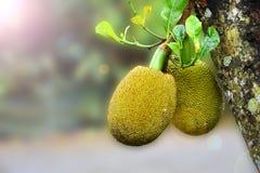 Jackfruit-Baum und junge Jackfruits Lizenzfreie Stockfotografie