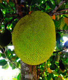 Jackfruit Stock Photography