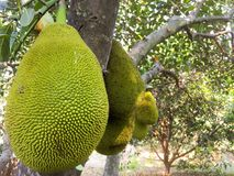 Jackfruit royalty free stock photo