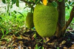 Jackfruit. Big green jackfruit under the tree in garden Royalty Free Stock Image