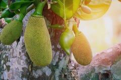 Jackfruit Stock Photo