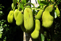 Jackfruit cultivation Stock Photography