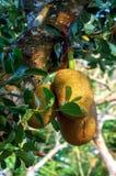 jackfruit da infância à maturidade foto de stock