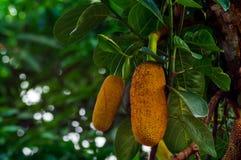 jackfruit da infância à maturidade fotos de stock