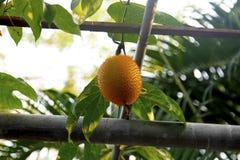 Jackfruit del bebé espinoso fotografía de archivo