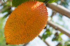 Jackfruit del bebé espinoso imagen de archivo libre de regalías