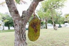 Jackfruit do fruto tropical na árvore imagem de stock