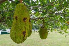 Jackfruit do fruto tropical na árvore foto de stock